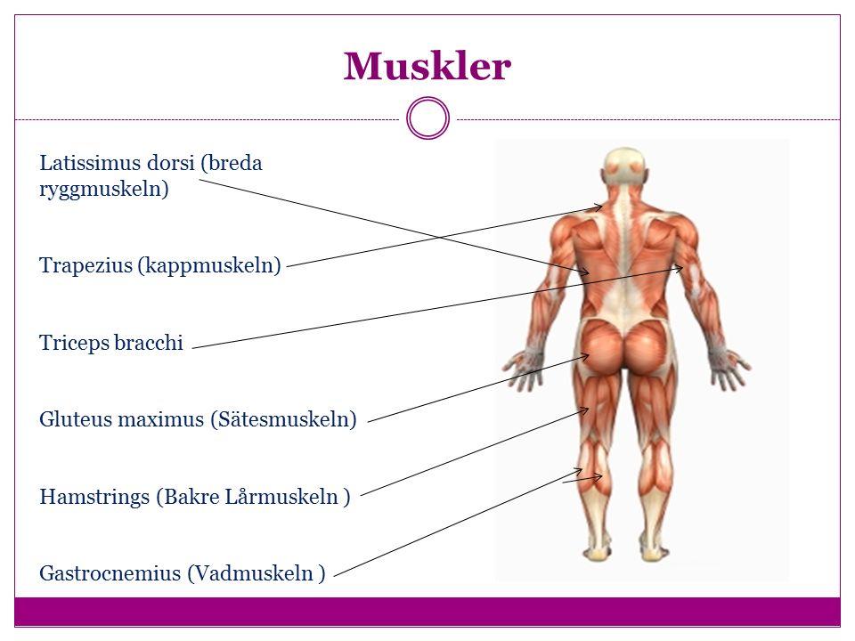 Muskler Latissimus dorsi (breda ryggmuskeln) Trapezius (kappmuskeln) Triceps bracchi Gluteus maximus (Sätesmuskeln) Hamstrings (Bakre Lårmuskeln ) Gastrocnemius (Vadmuskeln )