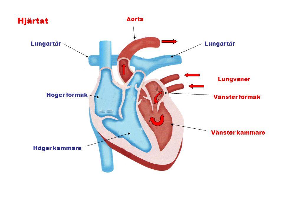Hjärtat Höger förmak Höger kammare Lungartär Lungvener Vänster förmak Vänster kammare Aorta