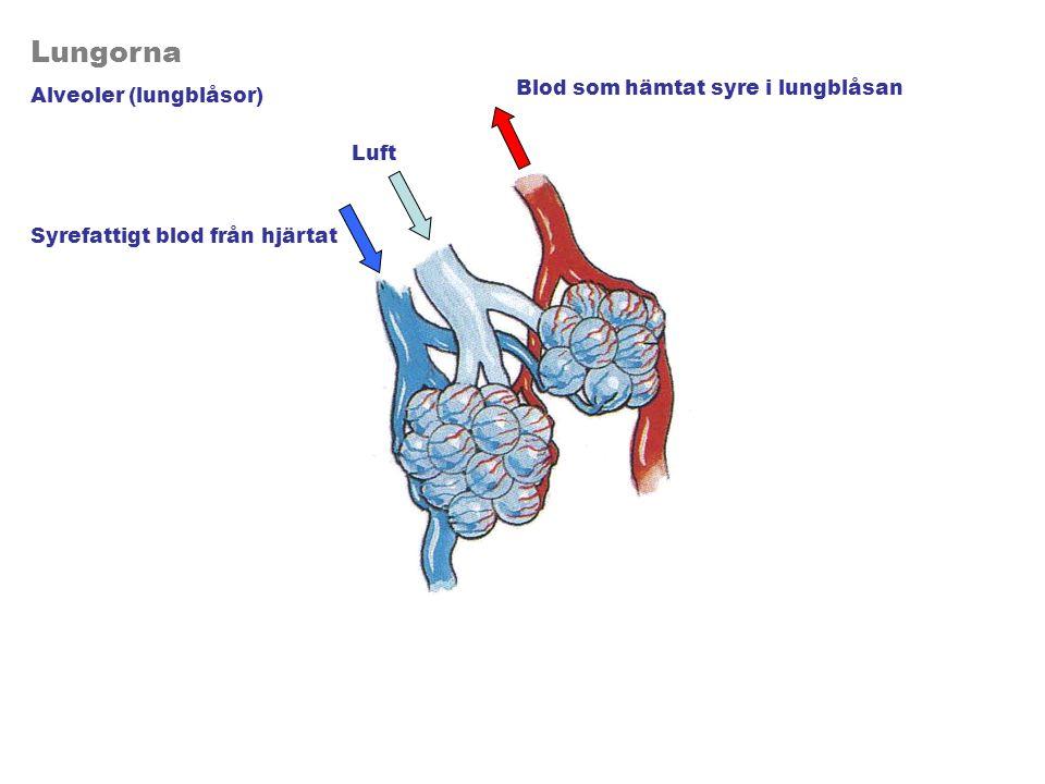 Lungorna Alveoler (lungblåsor) Luft Syrefattigt blod från hjärtat Blod som hämtat syre i lungblåsan
