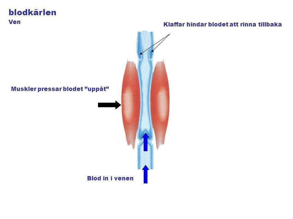 blodkärlen Blod in i venen Muskler pressar blodet uppåt Klaffar hindar blodet att rinna tillbaka Ven