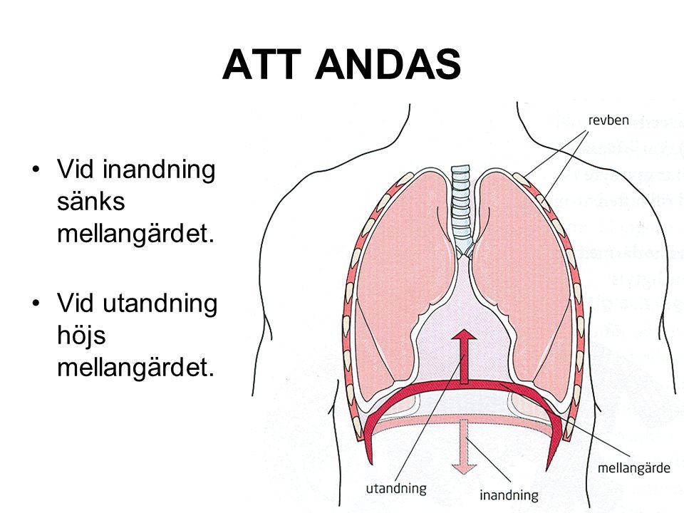 ATT ANDAS Vid inandning sänks mellangärdet. Vid utandning höjs mellangärdet.