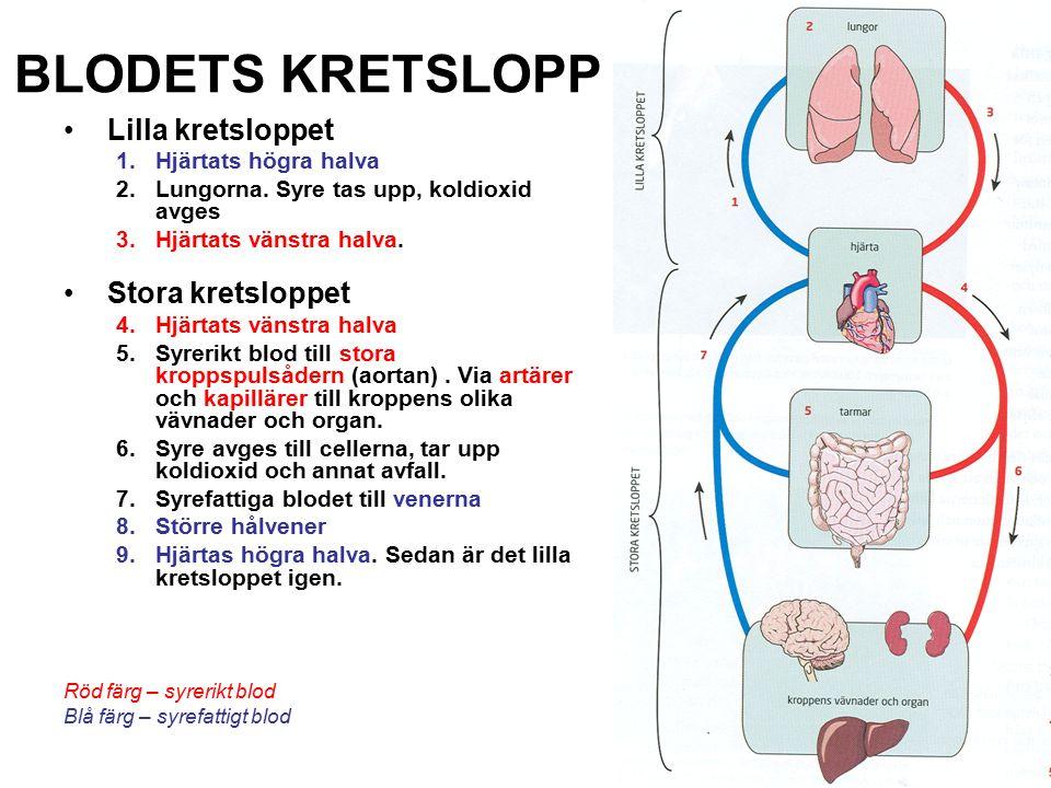 BLODETS KRETSLOPP Lilla kretsloppet 1.Hjärtats högra halva 2.Lungorna. Syre tas upp, koldioxid avges 3.Hjärtats vänstra halva. Stora kretsloppet 4.Hjä