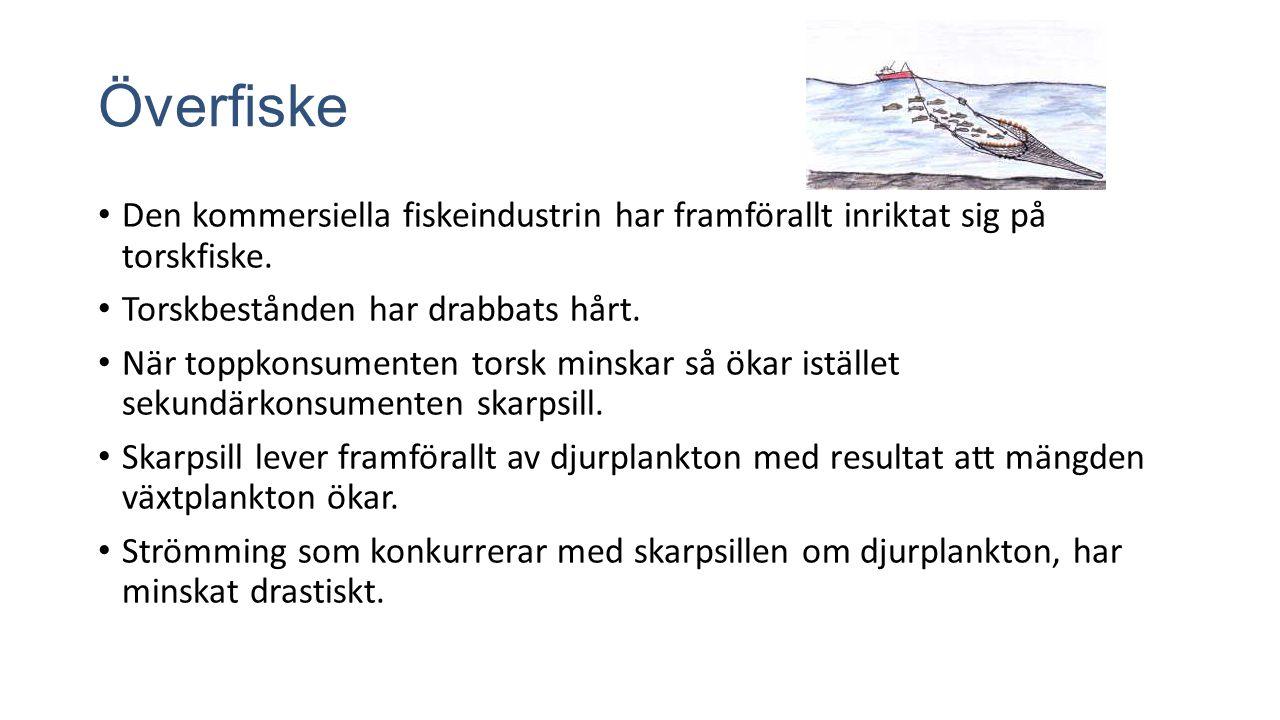 Överfiske Den kommersiella fiskeindustrin har framförallt inriktat sig på torskfiske.