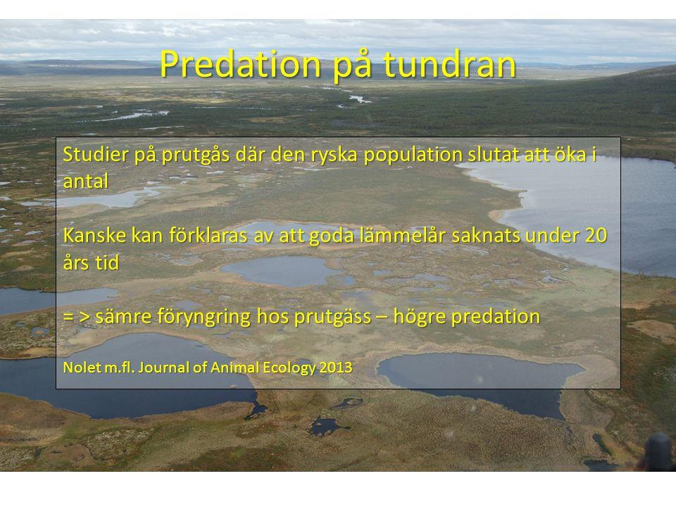 Predation på tundran Studier på prutgås där den ryska population slutat att öka i antal Kanske kan förklaras av att goda lämmelår saknats under 20 års tid = > sämre föryngring hos prutgäss – högre predation Nolet m.fl.