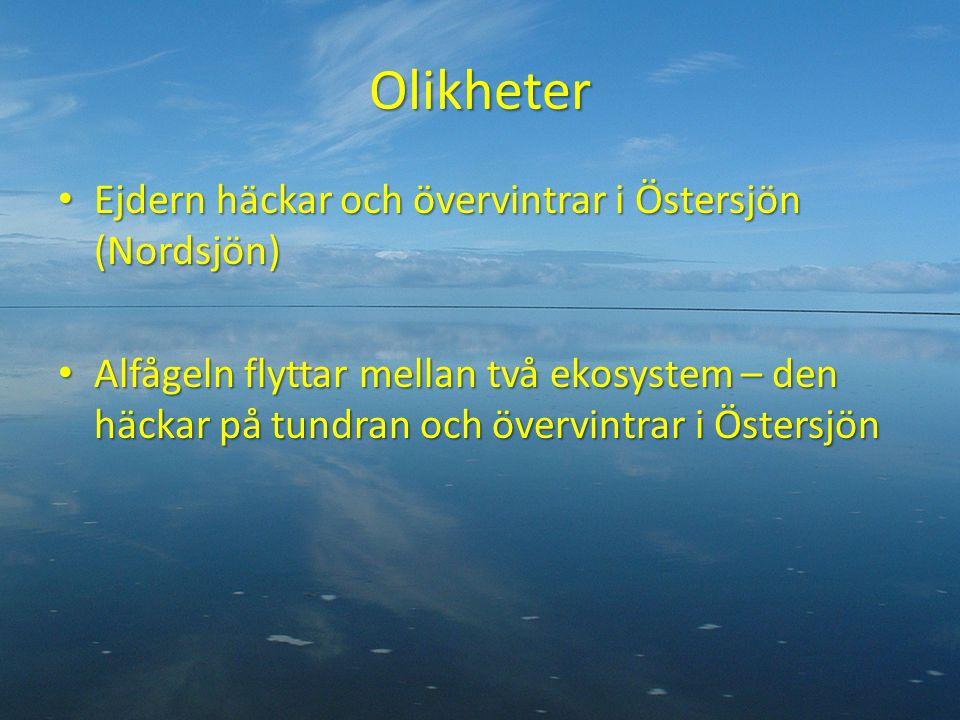 Olikheter Ejdern häckar och övervintrar i Östersjön (Nordsjön) Ejdern häckar och övervintrar i Östersjön (Nordsjön) Alfågeln flyttar mellan två ekosystem – den häckar på tundran och övervintrar i Östersjön Alfågeln flyttar mellan två ekosystem – den häckar på tundran och övervintrar i Östersjön