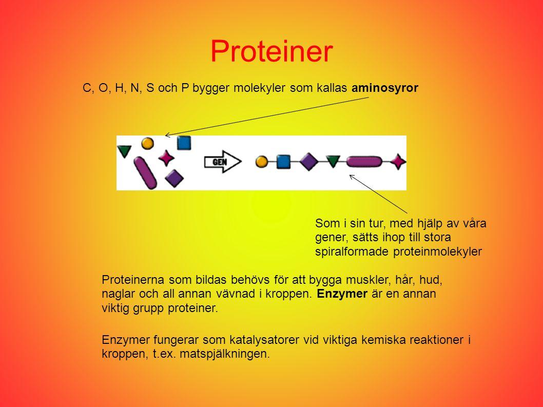 Proteiner C, O, H, N, S och P bygger molekyler som kallas aminosyror Som i sin tur, med hjälp av våra gener, sätts ihop till stora spiralformade proteinmolekyler Proteinerna som bildas behövs för att bygga muskler, hår, hud, naglar och all annan vävnad i kroppen.