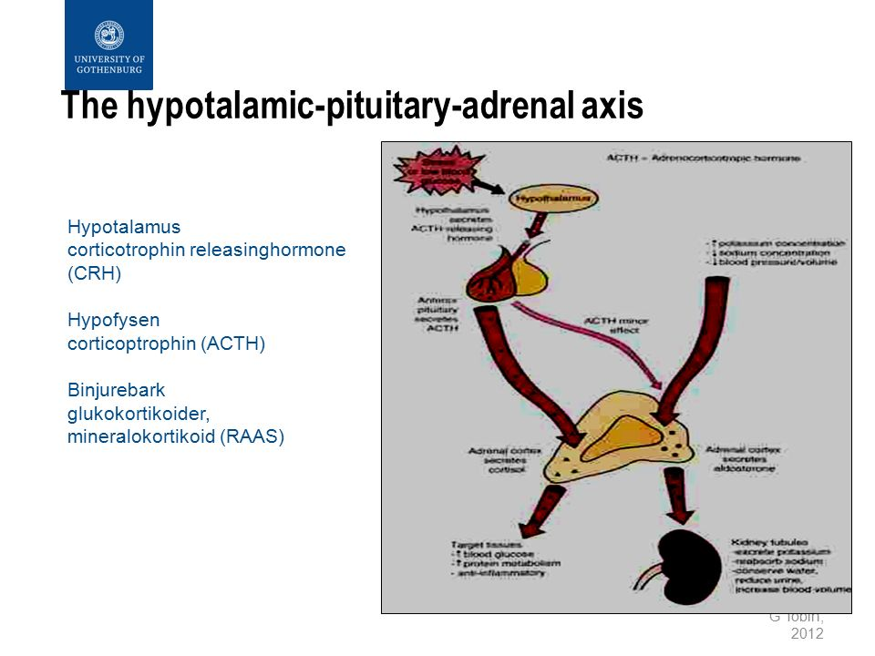 G Tobin, 2012 The hypotalamic-pituitary-adrenal axis Hypotalamus corticotrophin releasinghormone (CRH) Hypofysen corticoptrophin (ACTH) Binjurebark gl