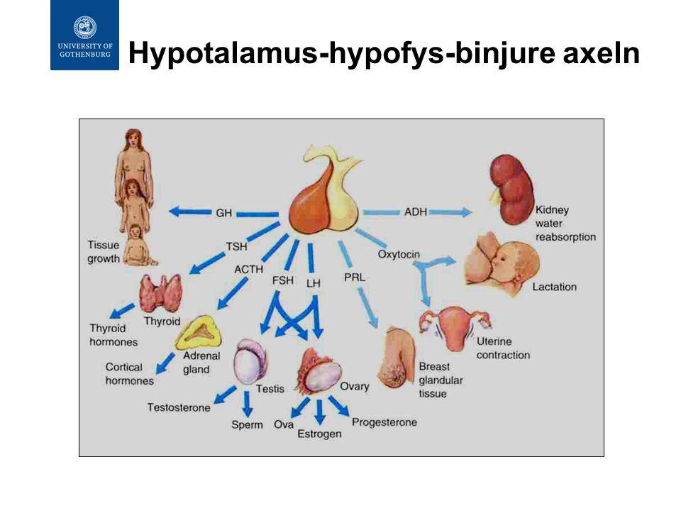 Hypotalamus-hypofys-binjure axeln