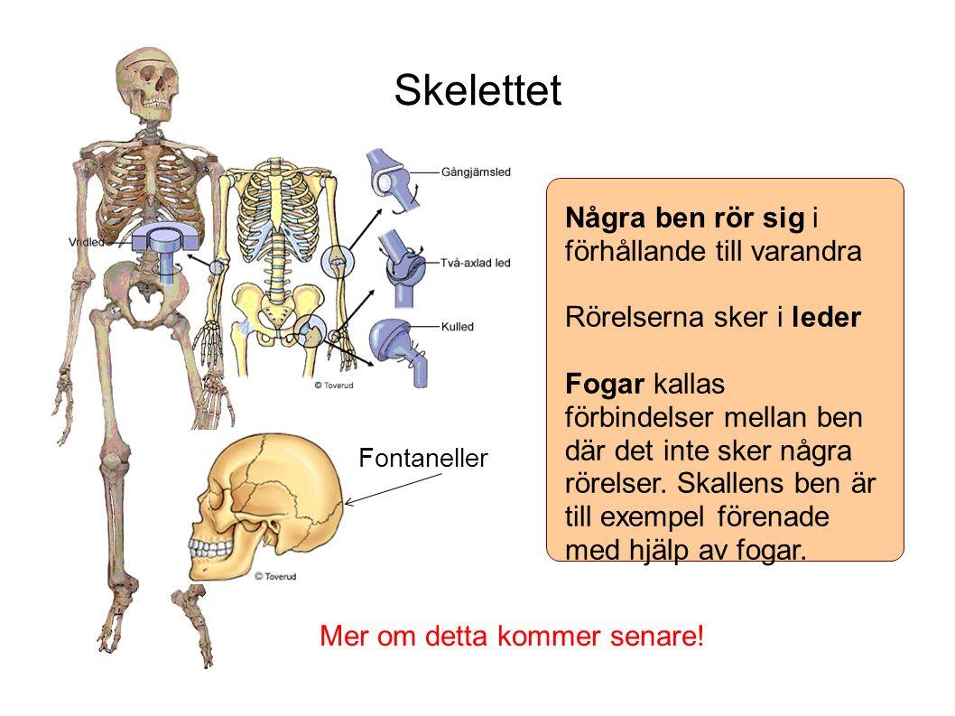 Skelettet Några ben rör sig i förhållande till varandra Rörelserna sker i leder Fogar kallas förbindelser mellan ben där det inte sker några rörelser.
