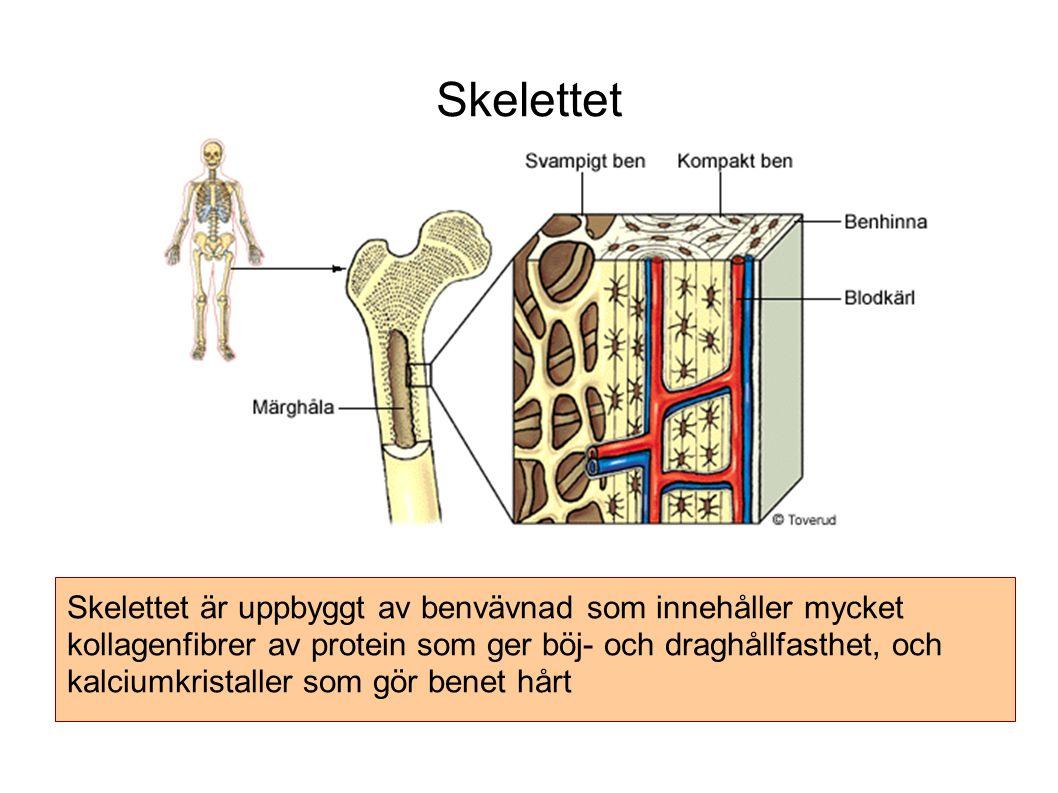 Skelettet Skelettet är uppbyggt av benvävnad som innehåller mycket kollagenfibrer av protein som ger böj- och draghållfasthet, och kalciumkristaller som gör benet hårt