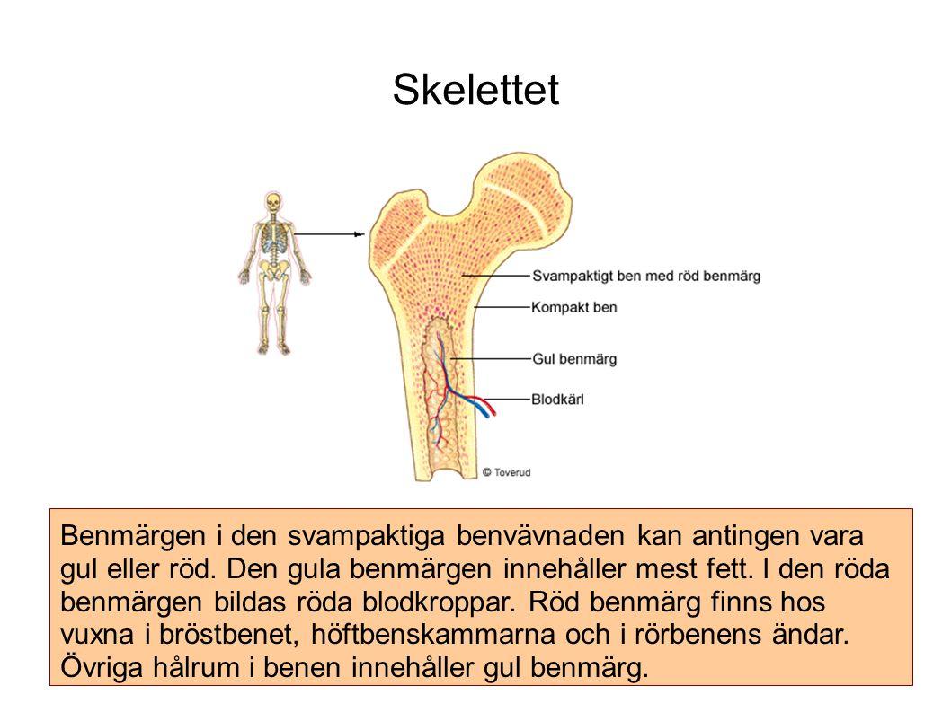 Skelettet Benmärgen i den svampaktiga benvävnaden kan antingen vara gul eller röd.