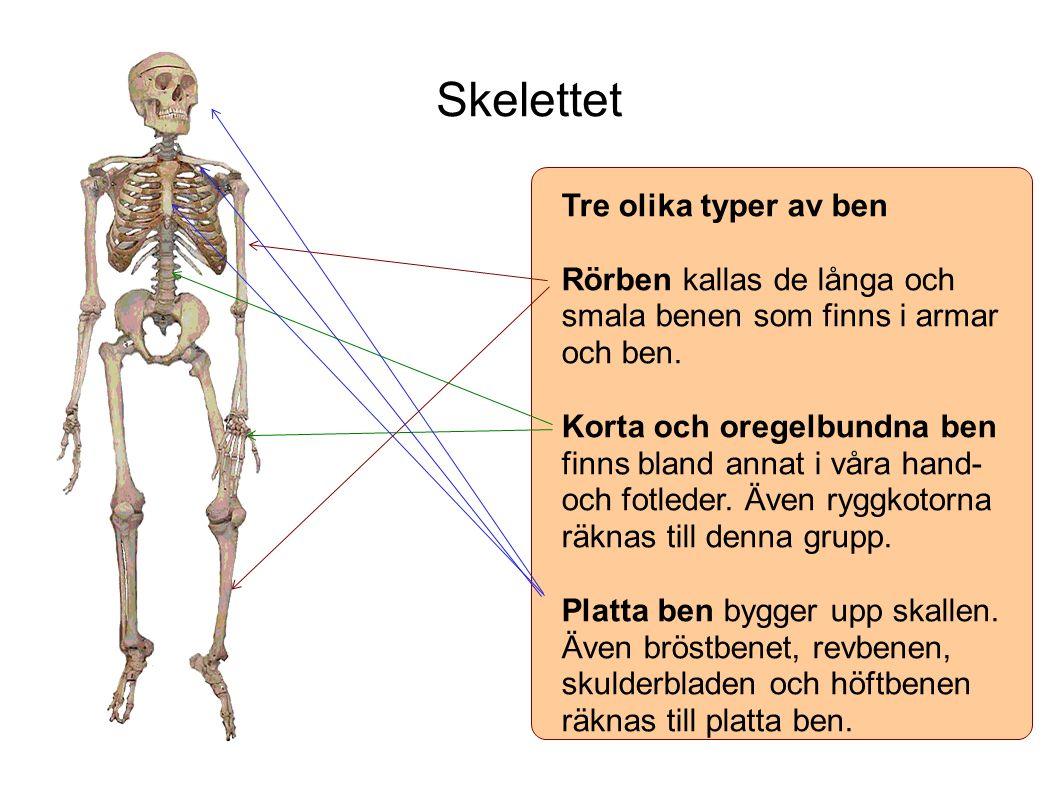 Skelettet Tre olika typer av ben Rörben kallas de långa och smala benen som finns i armar och ben.