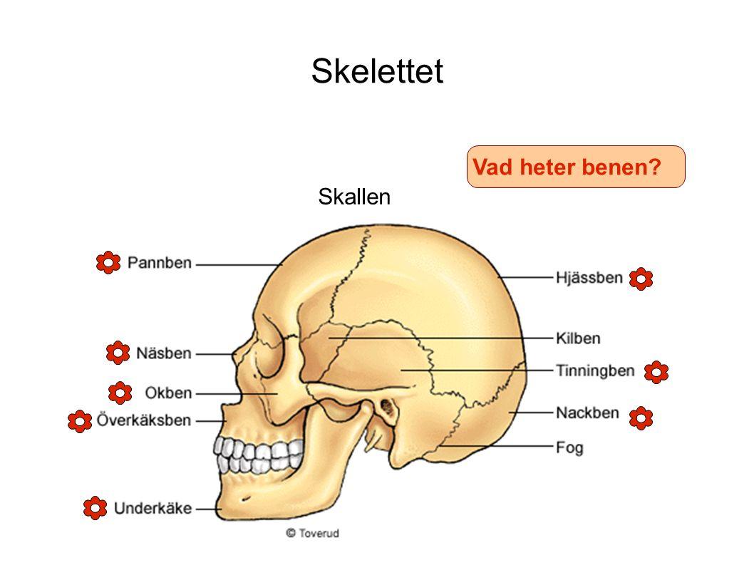 Skelettet Vad heter benen Skallen