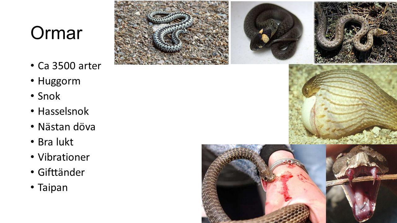 Ormar Ca 3500 arter Huggorm Snok Hasselsnok Nästan döva Bra lukt Vibrationer Gifttänder Taipan