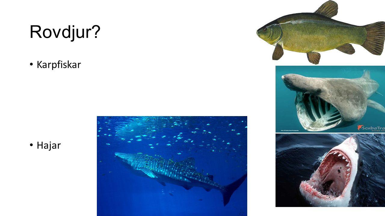 Rovdjur? Karpfiskar Hajar