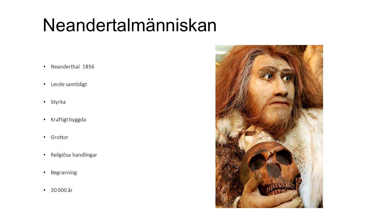 Neandertalmänniskan Neanderthal 1856 Levde samtidigt Styrka Kraftigt byggda Grottor Religiösa handlingar Begravning 30 000 år