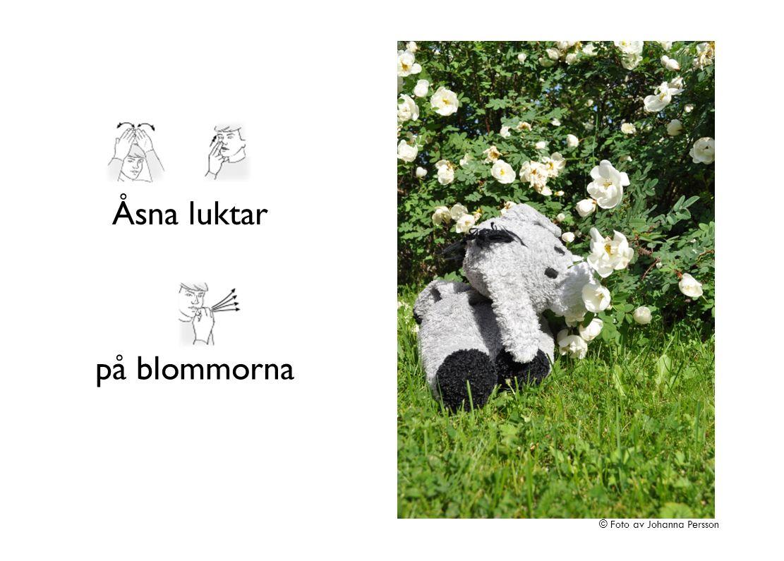 Åsna luktar på blommorna © Foto av Johanna Persson