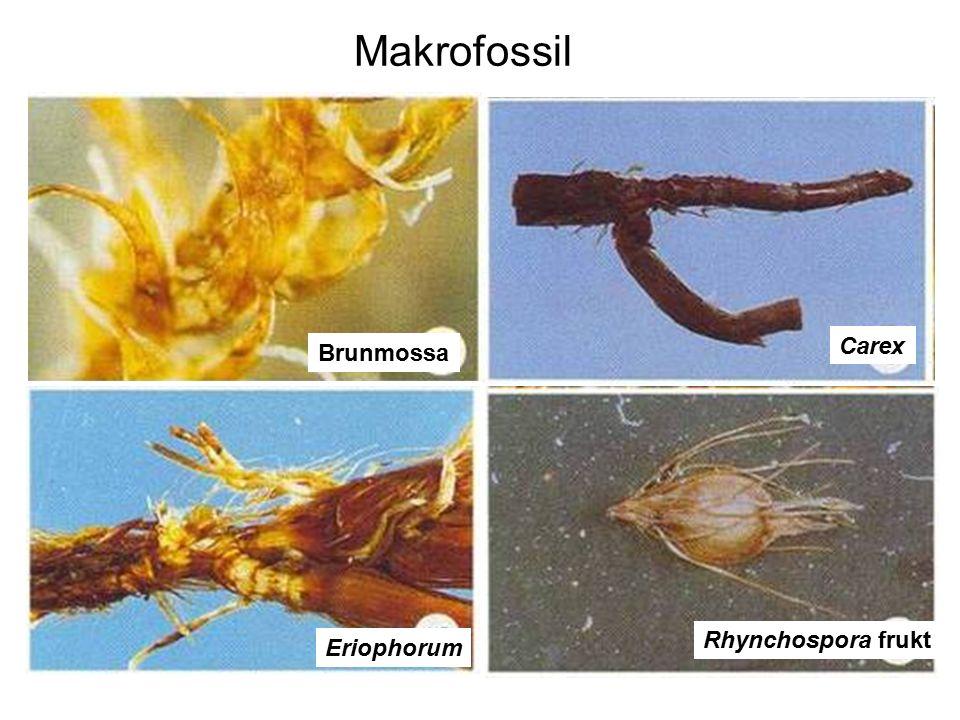 Makrofossil Carex Brunmossa Rhynchospora frukt Eriophorum