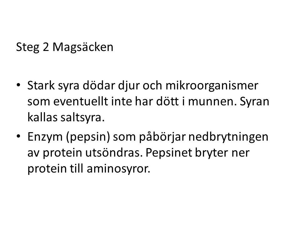Steg 2 Magsäcken Stark syra dödar djur och mikroorganismer som eventuellt inte har dött i munnen. Syran kallas saltsyra. Enzym (pepsin) som påbörjar n