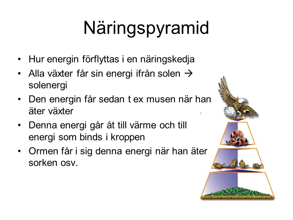 Näringspyramid Hur energin förflyttas i en näringskedja Alla växter får sin energi ifrån solen  solenergi Den energin får sedan t ex musen när han äter växter Denna energi går åt till värme och till energi som binds i kroppen Ormen får i sig denna energi när han äter sorken osv.