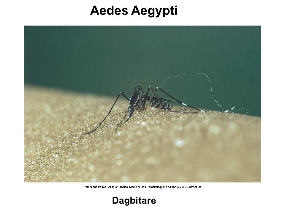 Aedes Aegypti Dagbitare