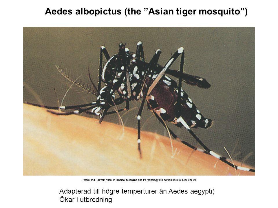 Aedes albopictus (the Asian tiger mosquito ) Adapterad till högre temperturer än Aedes aegypti) Ökar i utbredning