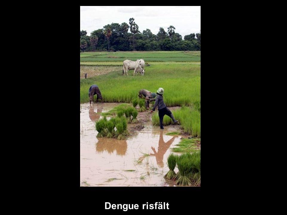 Dengue risfält