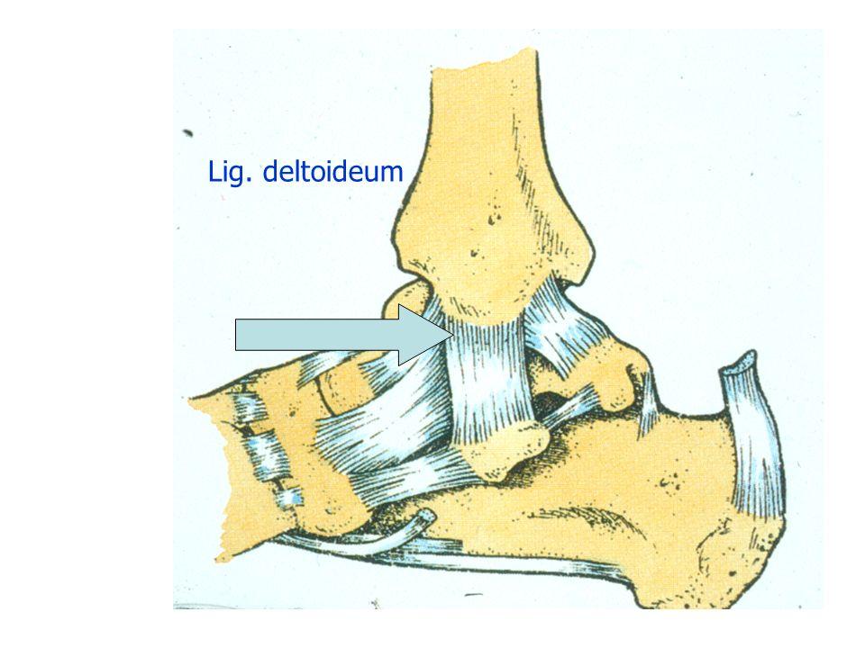 Lig. deltoideum