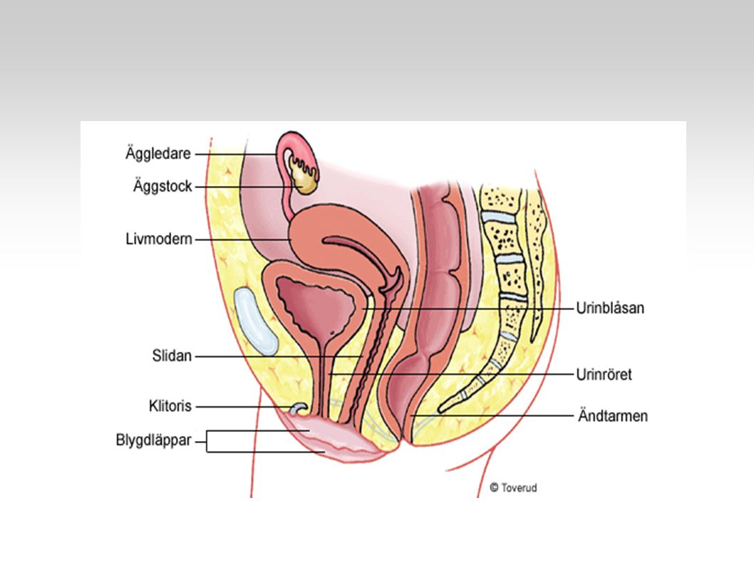 Hypofyshormone r Äggstocks - hormoner