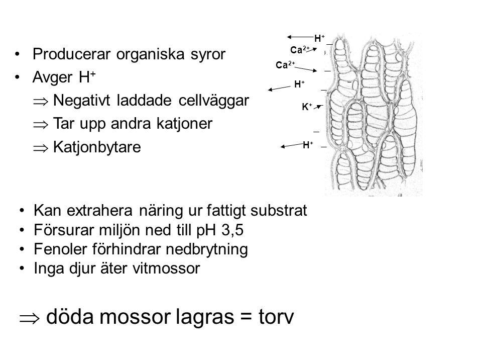 Producerar organiska syror Avger H +  Negativt laddade cellväggar  Tar upp andra katjoner  Katjonbytare Ca 2+ K+K+ H+H+ H+H+ H+H+ Kan extrahera näring ur fattigt substrat Försurar miljön ned till pH 3,5 Fenoler förhindrar nedbrytning Inga djur äter vitmossor  döda mossor lagras = torv