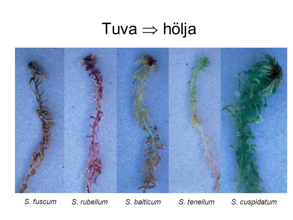 Tuva  hölja S. fuscum S. balticumS. cuspidatumS. tenellumS. rubellum