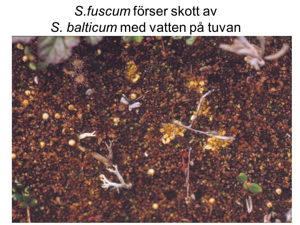 S.fuscum förser skott av S. balticum med vatten på tuvan