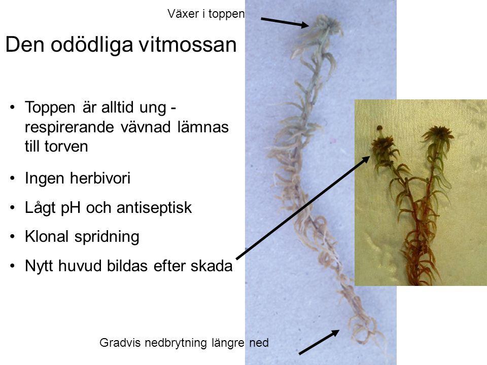 Den odödliga vitmossan Toppen är alltid ung - respirerande vävnad lämnas till torven Växer i toppen Gradvis nedbrytning längre ned Ingen herbivori Lågt pH och antiseptisk Klonal spridning Nytt huvud bildas efter skada