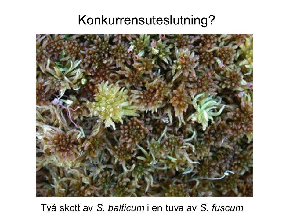 Konkurrensuteslutning Två skott av S. balticum i en tuva av S. fuscum