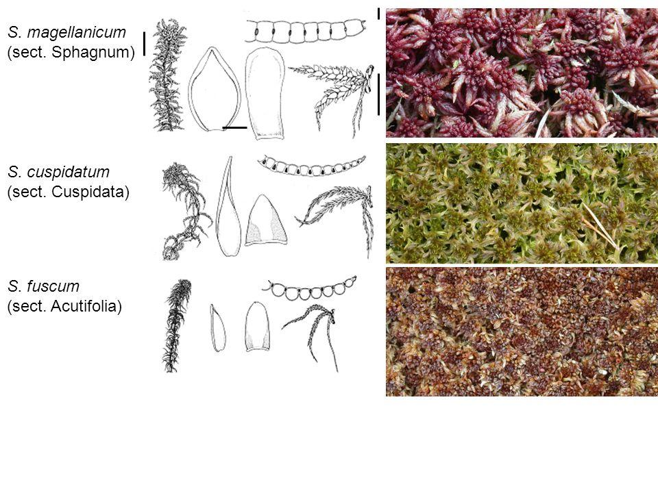 S. magellanicum (sect. Sphagnum) S. cuspidatum (sect. Cuspidata) S. fuscum (sect. Acutifolia)