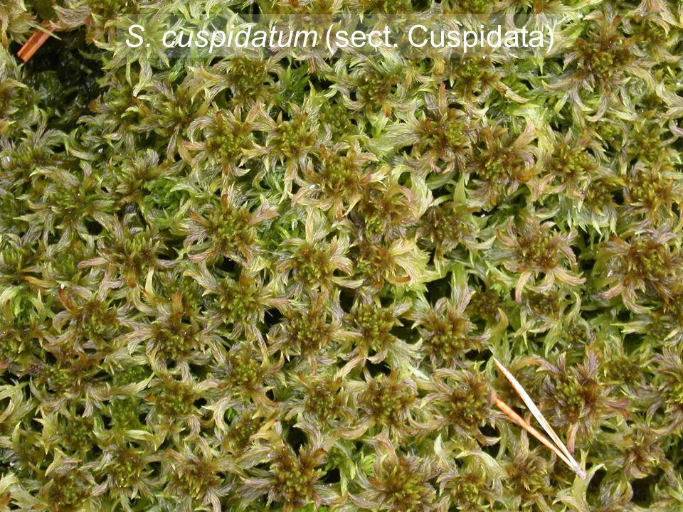 S. fuscum (sect. Acutifolia)