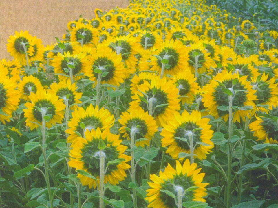 Blomväxterna Exempel: Maskros, lind… Väldigt olika utseende! Miljö: Kräver mer värme än barrväxter.