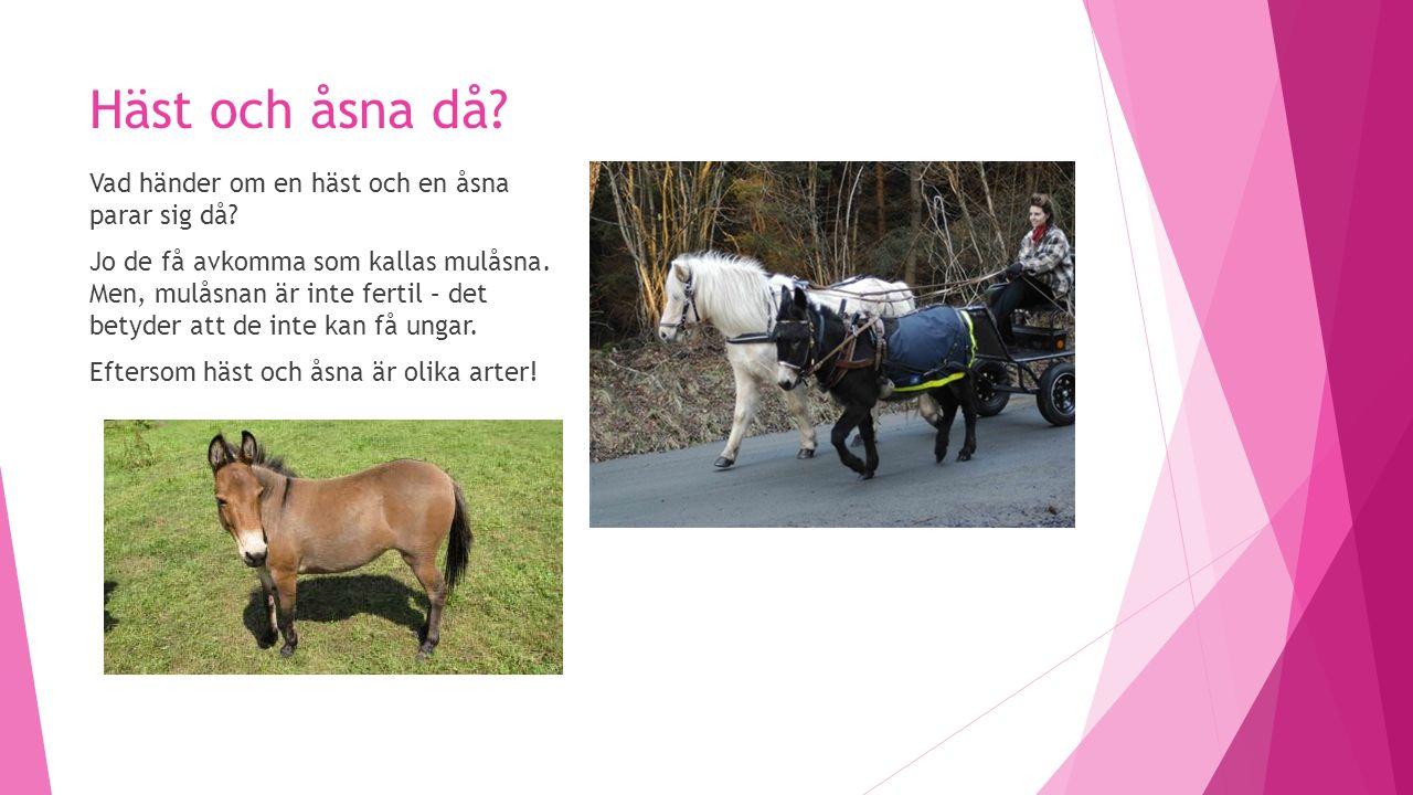 Häst och åsna då. Vad händer om en häst och en åsna parar sig då.