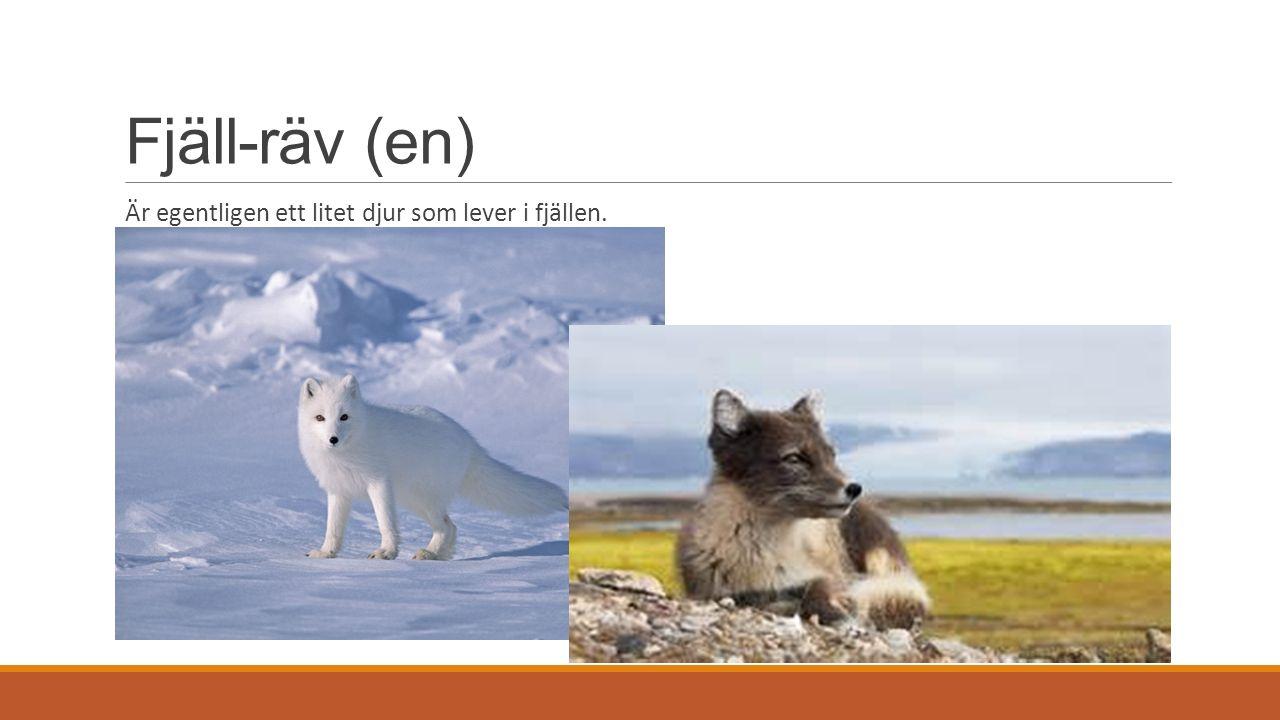 Fjäll-räv (en) Är egentligen ett litet djur som lever i fjällen.