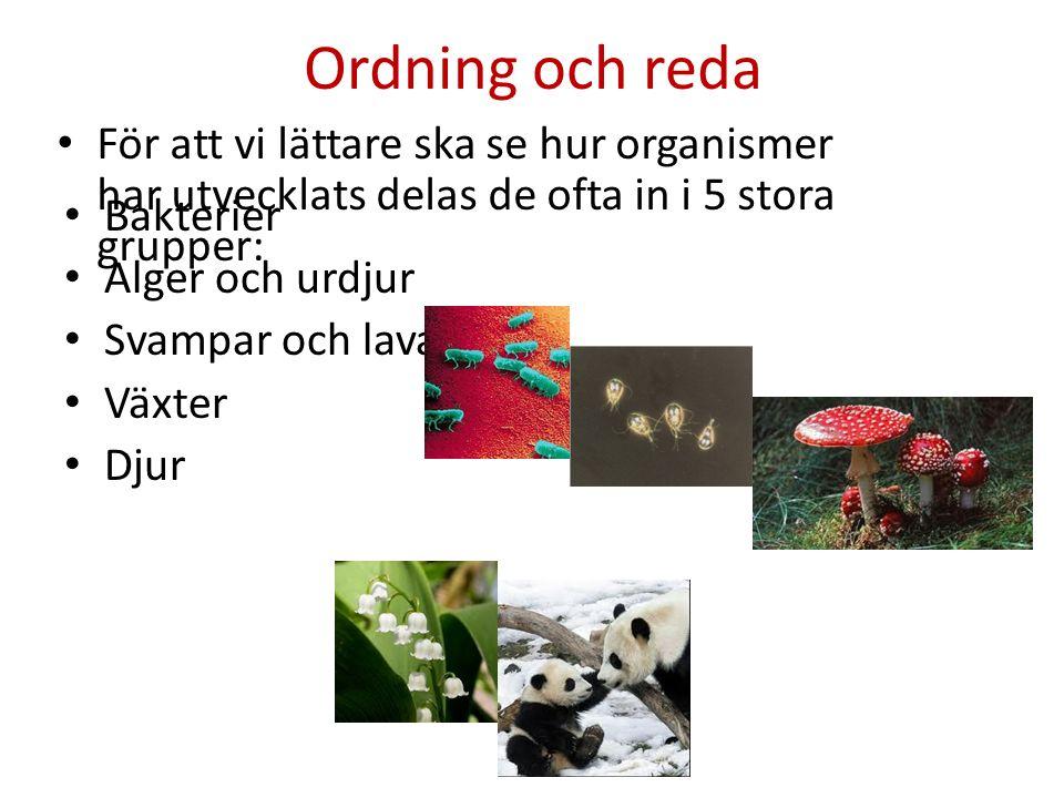 Ordning och reda Bakterier Alger och urdjur Svampar och lavar Växter Djur För att vi lättare ska se hur organismer har utvecklats delas de ofta in i 5