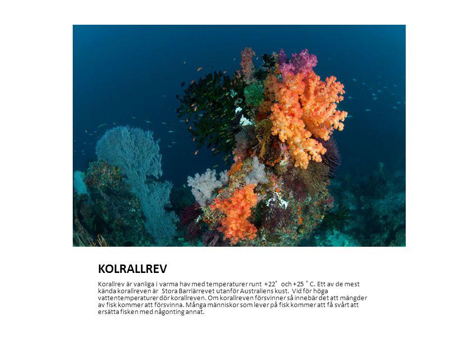 KOLRALLREV Korallrev är vanliga i varma hav med temperaturer runt +22˚ och +25 ˚ C.