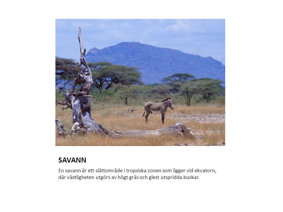 SAVANN En savann är ett slättområde i tropsiska zonen som ligger vid ekvatorn, där växtligheten utgörs av högt gräs och glest utspridda buskar.