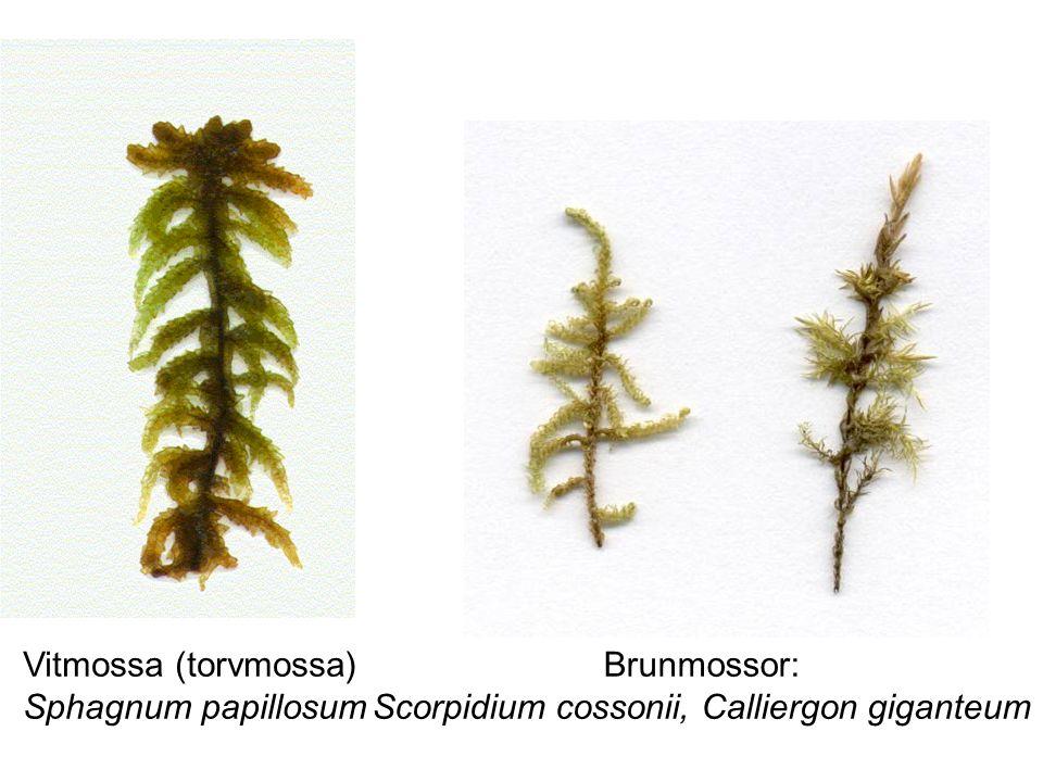 Vitmossa (torvmossa) Sphagnum papillosum Brunmossor: Scorpidium cossonii, Calliergon giganteum