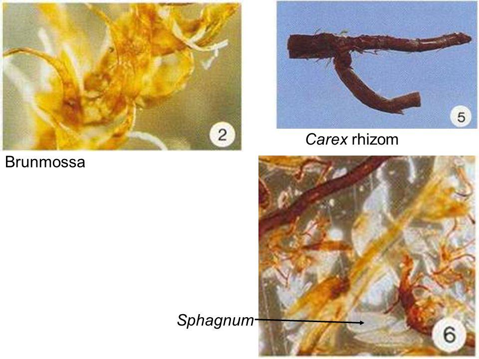 Brunmossa Carex rhizom Sphagnum