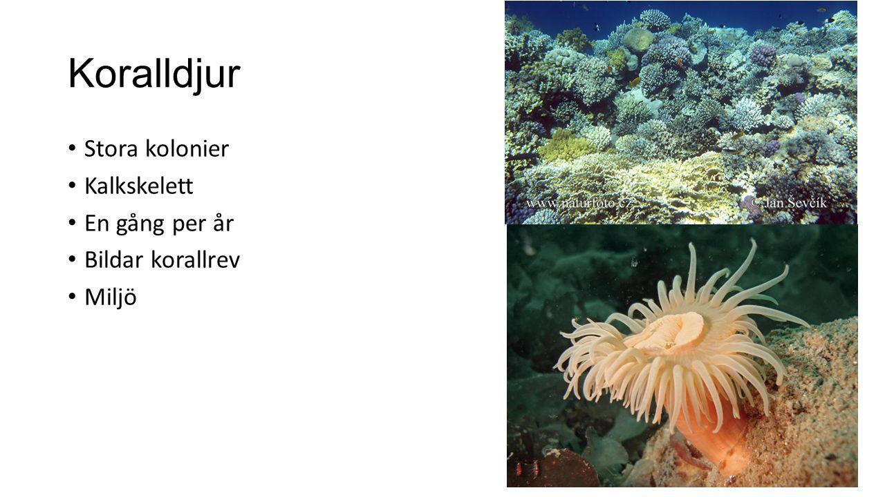 Koralldjur Stora kolonier Kalkskelett En gång per år Bildar korallrev Miljö