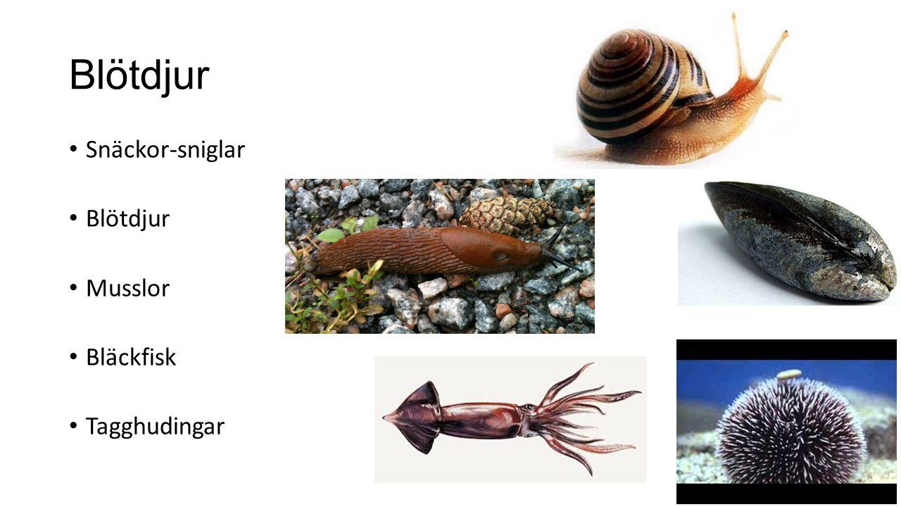 Blötdjur Snäckor-sniglar Blötdjur Musslor Bläckfisk Tagghudingar