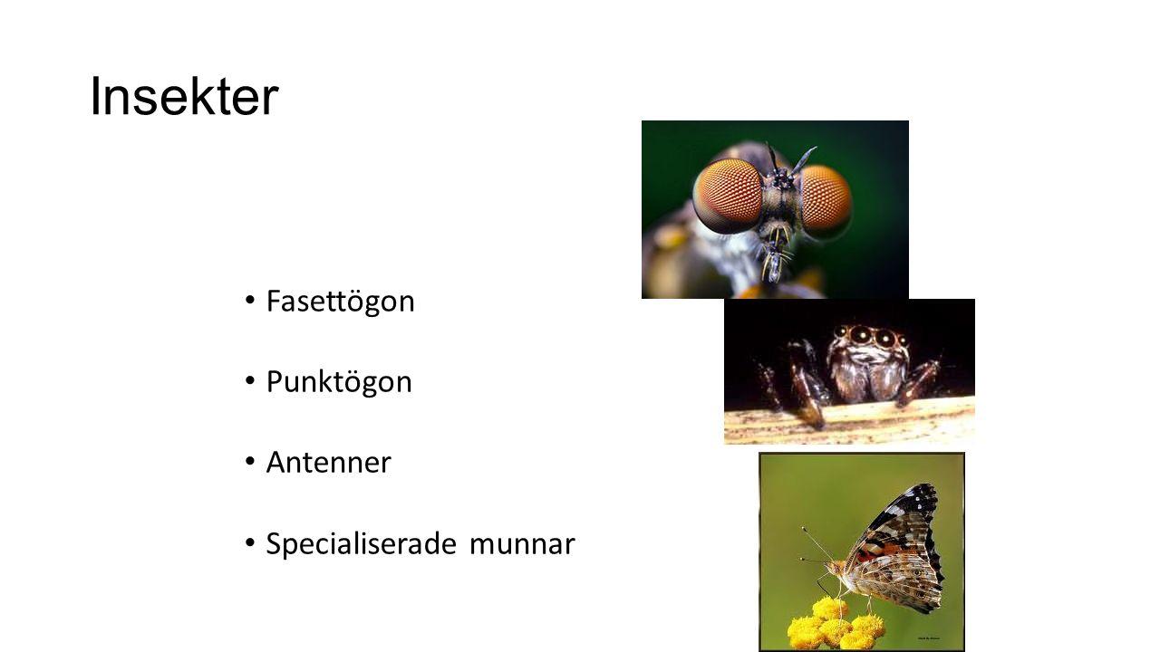 Insekter Fasettögon Punktögon Antenner Specialiserade munnar
