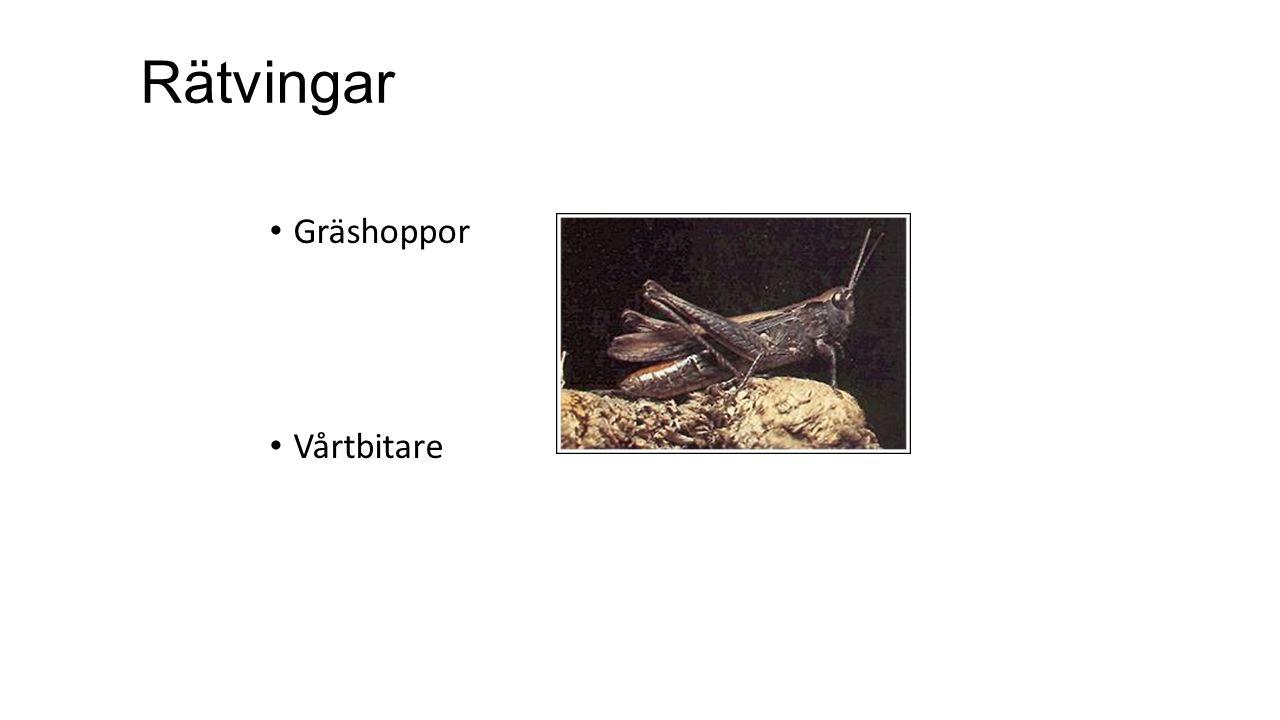 Rätvingar Gräshoppor Vårtbitare