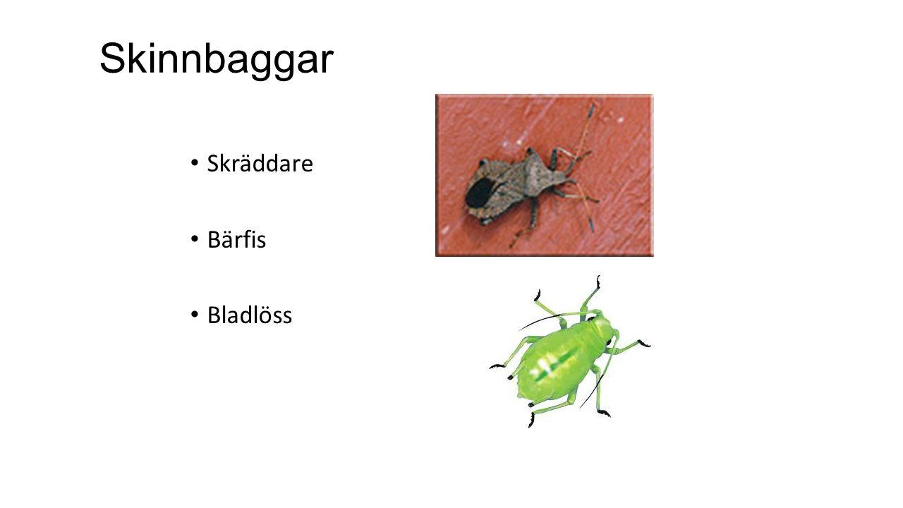 Skinnbaggar Skräddare Bärfis Bladlöss