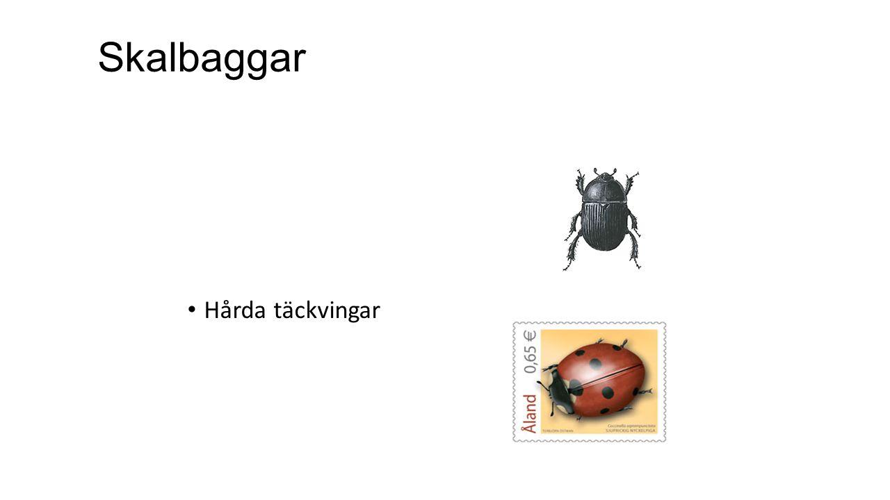 Skalbaggar Hårda täckvingar